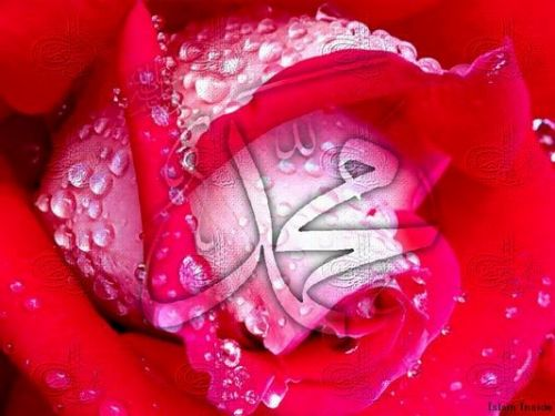 gorsel_021857_pink_rose_muhammad.jpg